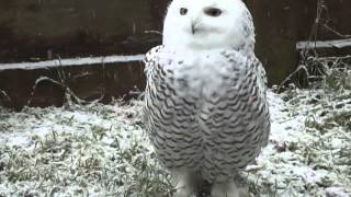 Serenity the Snowy Owl at OWL Orphaned Wildlife