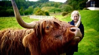 Scottish highland cows have an itch