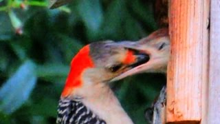 Woodpecker Baby Swallows Mom's Head