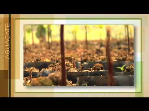 Manejo Tecnológico del Cultivo de Aguacate Cap 05