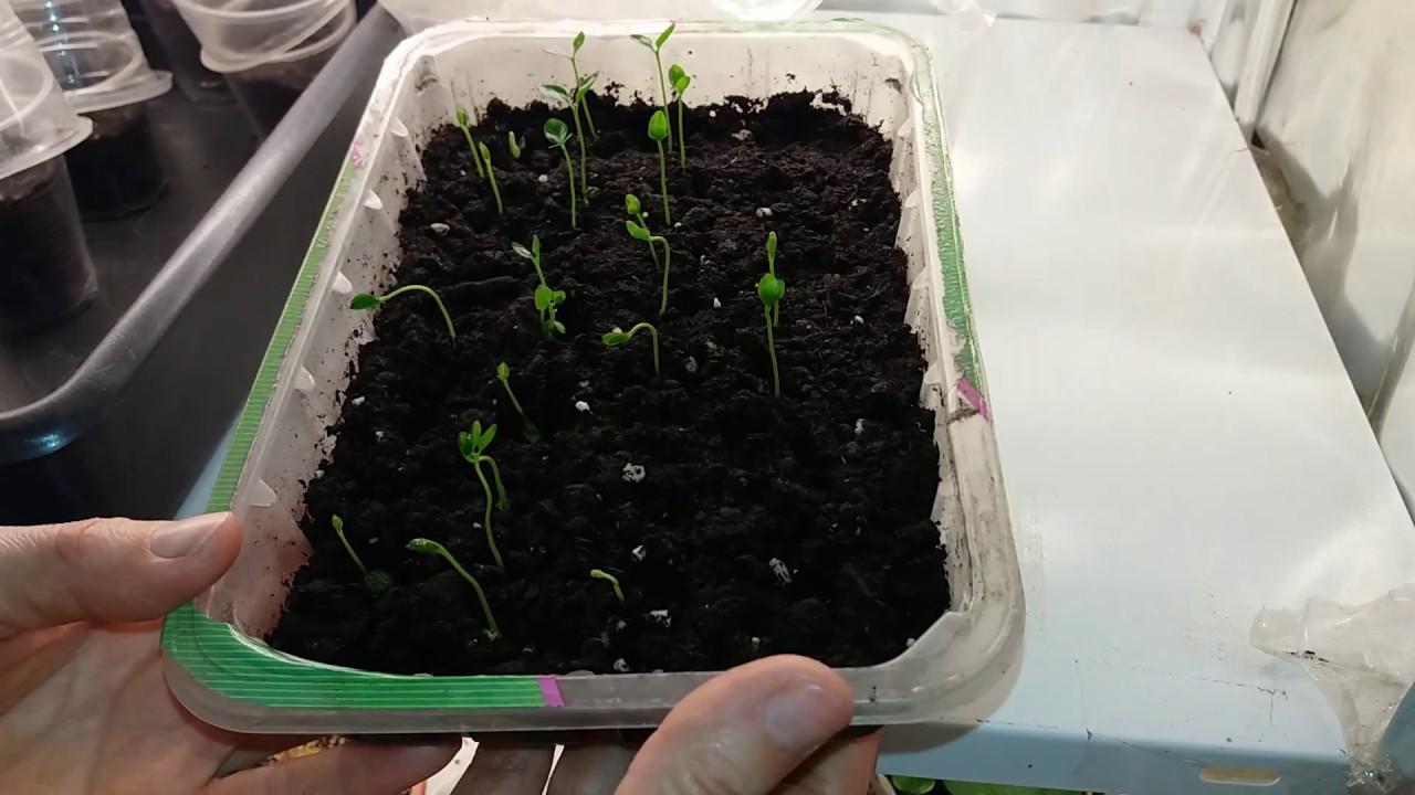 Когда сажать гортензию семенами на рассаду 65
