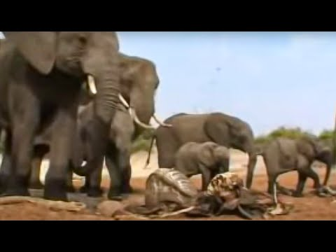 Elephants grieving - BBC wildlife Video