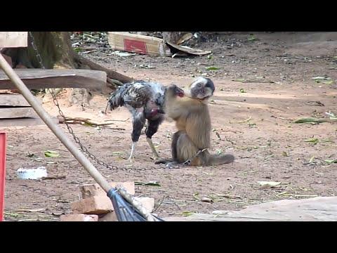 monyet VS ayam jago
