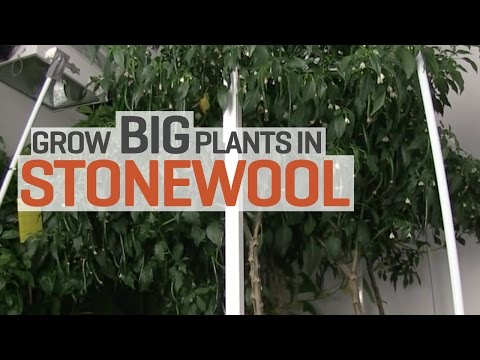 Grow Big Plants in Rockwool with Hydroponics!