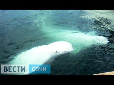 У берегов Сочи замечены киты-белухи