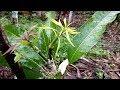 Lagu How to graft a Mango Tree