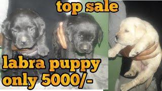Labra puppy for sale