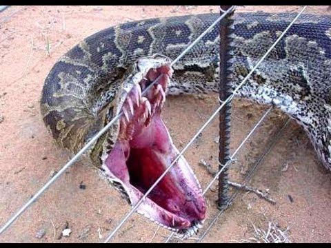 Killer Found in Florida New Killer Super Snakes Found