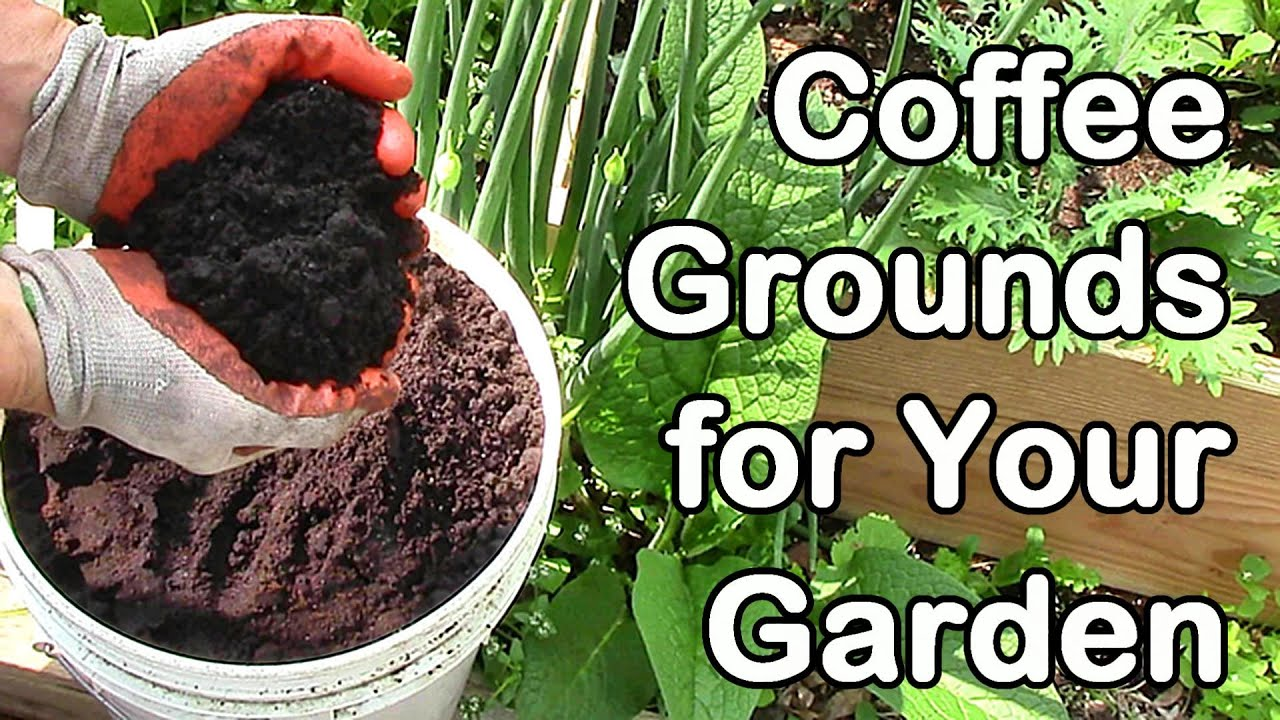 Coffee Grounds In The Garden Vegetables Garden Ftempo