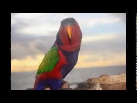 Suara Burung Nuri Kepala Hitam video