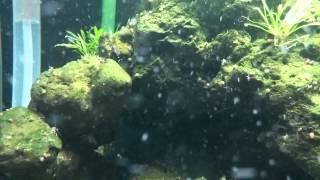 My Sulawesi shrimp tank 3 months