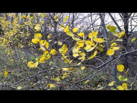 Трепещут последние осиновые листы на ветру