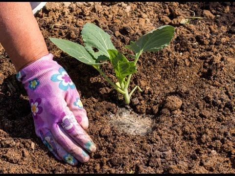 Как сажать цветную капусту в открытый грунт 60