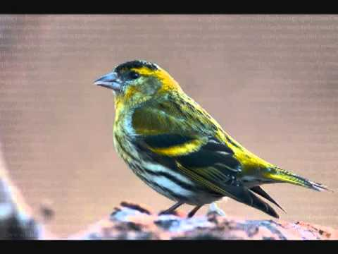 λούγαρο Carduelis Spinus wmv Music Videos