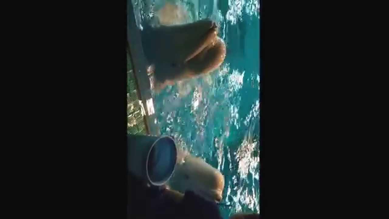 シロイルカの画像 p1_36