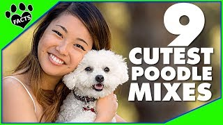 9 Cute Small Poodle Hybrid Mix Breeds Designer Dogs 101 - Animal Facts