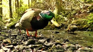 Videos for Cats to Watch - Mallard Ducks at The Stream
