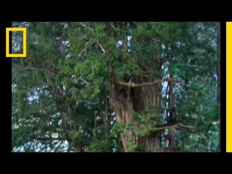 Redwoods: The Tallest Trees Video