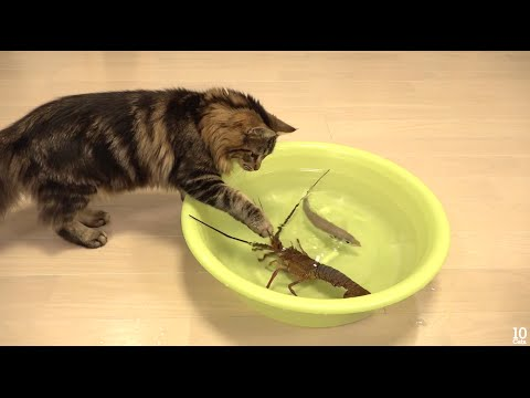 Japanese spiny lobster vs Cat  зvsдежи