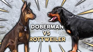 DOBERMAN vs ROTTWEILER! What's The Best Family Guard Dog?