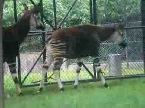 The Okapi Mating Season: Part one