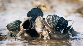 Mudskippers: The Fish That Walk on Land | Life | BBC Earth