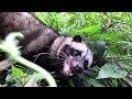 Berburu Musang thumbnail
