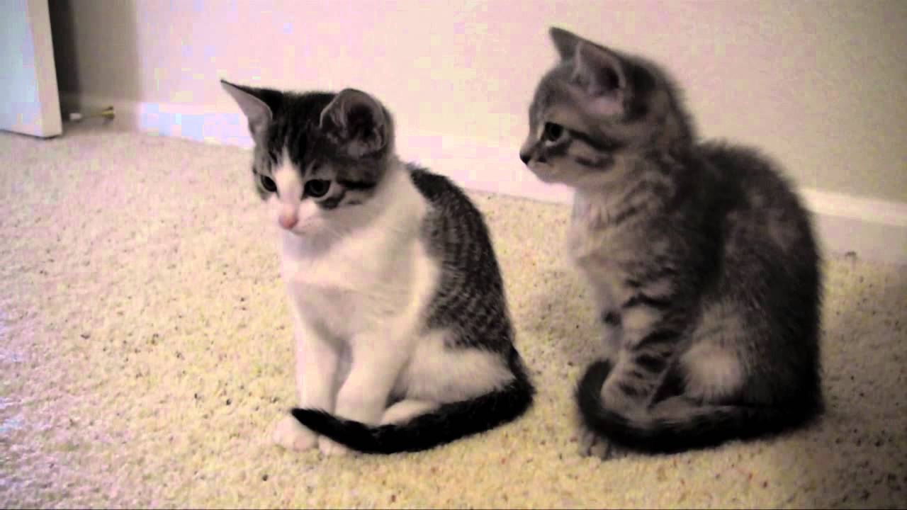 Getting A Kitten With A  Year Old Cat