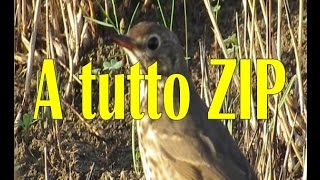 CACCIA: A tutto ZIP NINACC HIUNT SONG THRUSH HUNTING- 28 GAUGE-