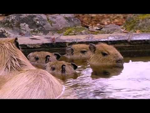 仔カピたちのカピバラ温泉練習風景