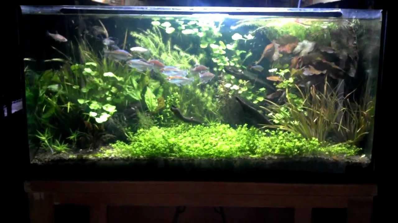 Congo tetra planted aquarium - YouTube