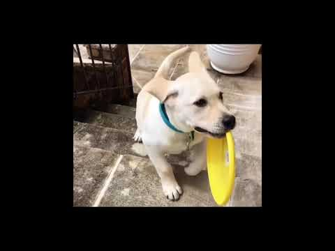 download lagu Labrador Retriever Puppies Funny Compilation 2017 Must Watch gratis