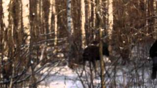 Лось напал на Человека / The elk has attacked the human