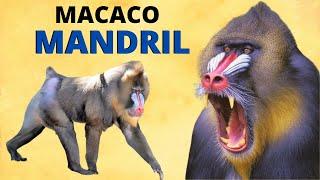 MACACO MANDRIL - UM DOS ANIMAIS MAIS COLORIDOS DO MUNDO!
