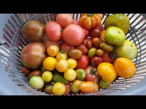 Самые лучшие сорта томатов на 2017!!!