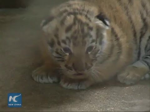 Siberian tiger gives birth to quadruplets in NE China