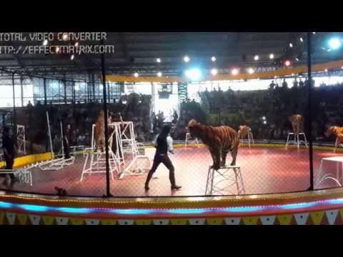 circus tigers (Performing tiger)