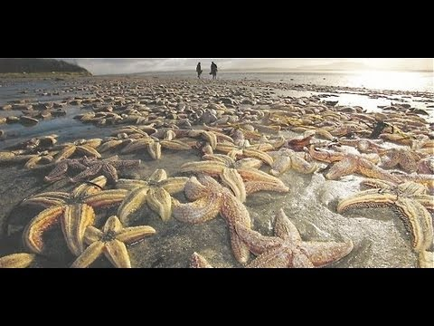 Mystery! 50,000 STARFISH Beached DEAD in UNITED KINGDOM IRELAND Nov.15,2012