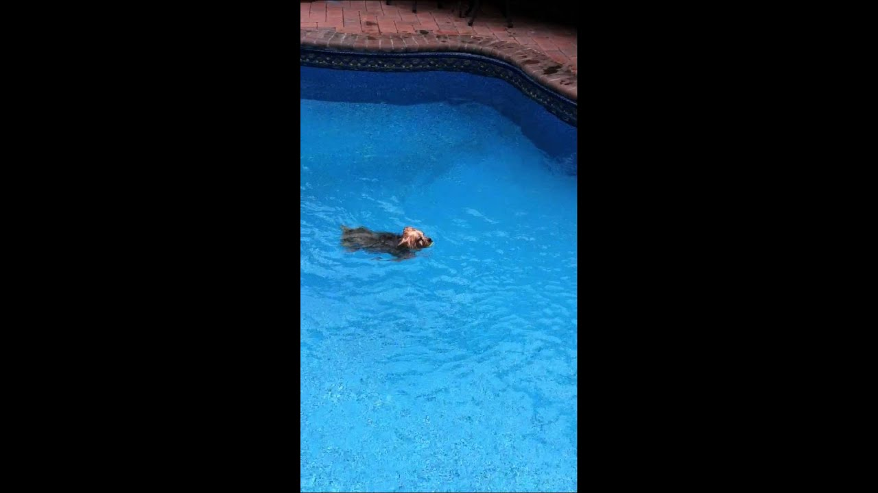 Dog Diving Into a Pool Dog Bacci Dive Into The