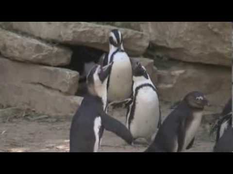 Rare Female Penguin Couple At Israeli Zoo video