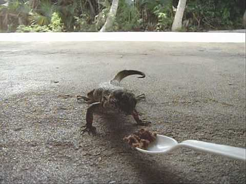 Bahamas Curly Tail Lizard ~  My daily visitors in the garage