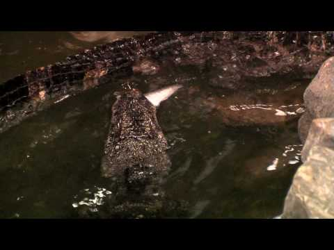 Chinese Alligator Feeding-Cincinnati Zoo Video