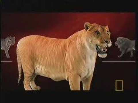 LigerChannel - Liger on National Geographic Ultimate Cat