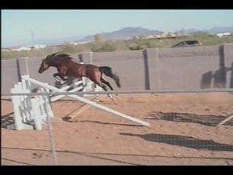 0 Khataba+ USDF Dressage Arab/Trakehner Stallion Free Jumping