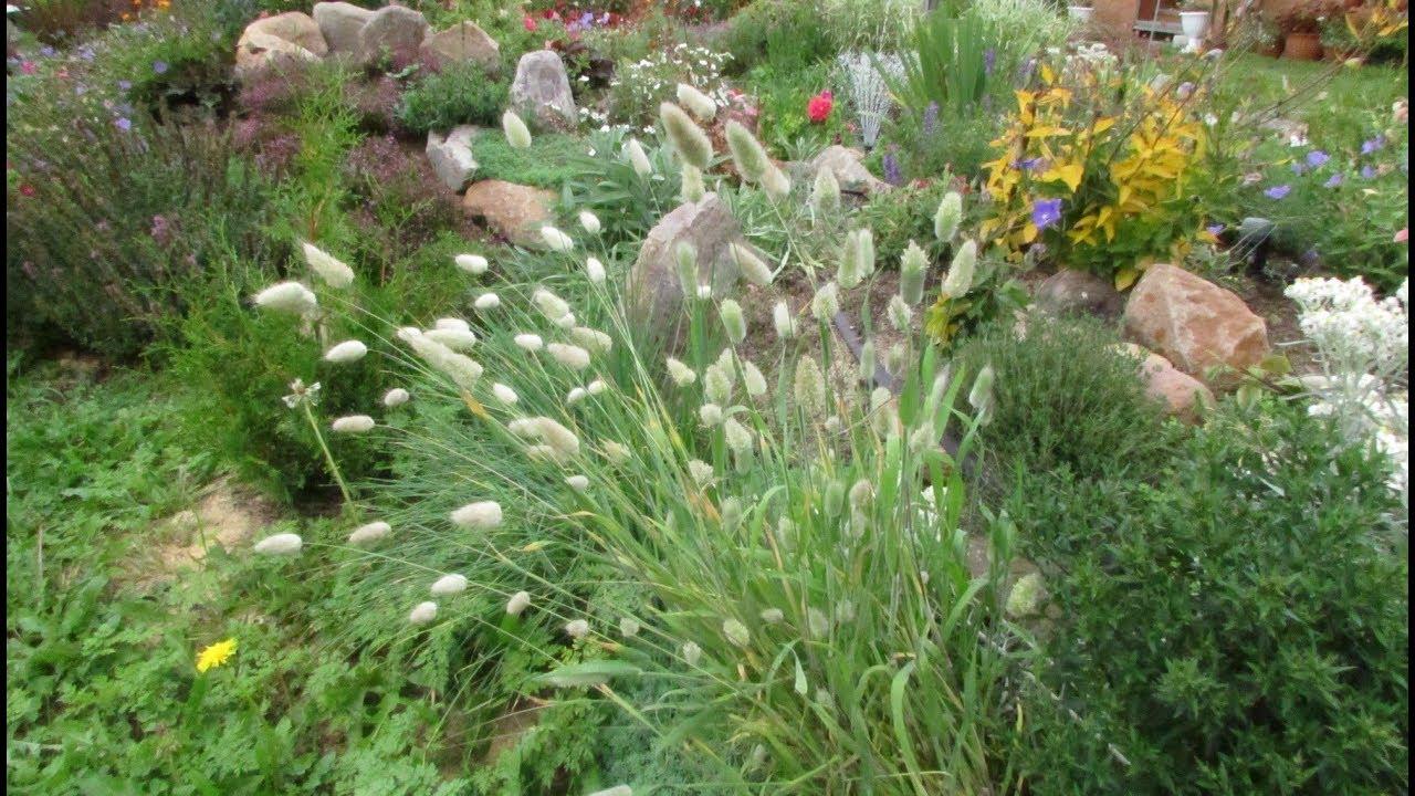 Зайцехвост выращивание из семян в домашних условиях 50