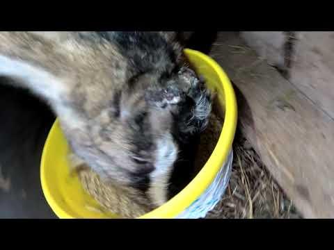 Лысеет коза после обезроживания резинками