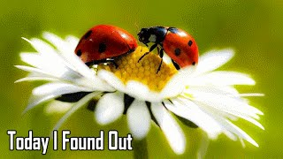 The Fascinating Reason Why Ladybugs areed That