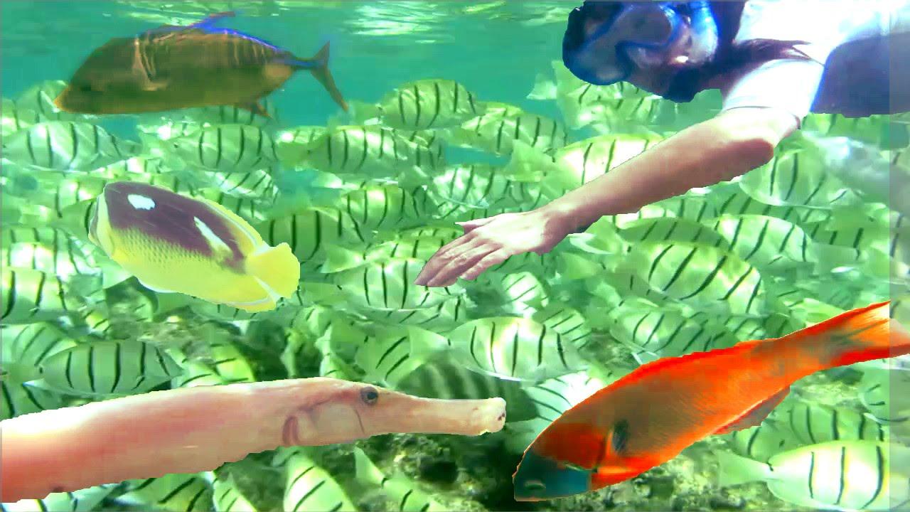 A cocktail of tropical fish snorkeling in hanauma bay for Tropic fish hawaii