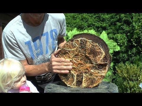 Urweltmammutbaum einpflanzen, umpflanzen