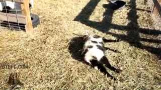 Fainting Goats! Yes, They Faint!
